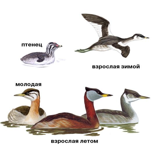 seroschekaya-poganka-guide-(onbird.ru).jpg