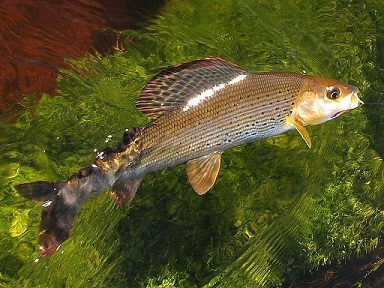 grayling in-the-grass-pic.jpg