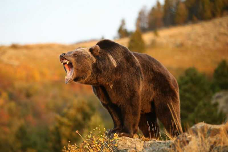 seksualno-ozabochennyj-medved-nastolko-napugal-uchenyx-chto-oni-reshili-ego-kastrirovat_45469_0.jpg