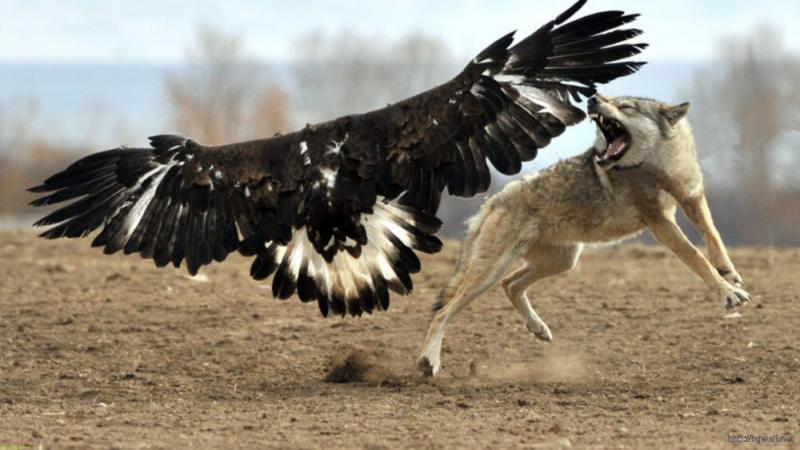 11111eagle-vs-wolf-animals-wallpaper.jpg